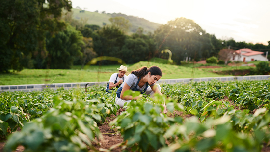 Man and woman picking vegetables in a field