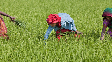 People picking rice in a field